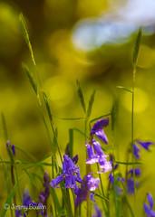 Bluebells (JKmedia) Tags: spring may 2018 cornwall lanhydrock nationaltrust boultonphotography bluebells blue green sunny warm bokeh