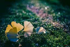 Gingko Leaves (eggwah123) Tags: leaves ginkgo ginkgobiloba bokeh fallenleaves autumn autumnleaves depthoffield dof a7rii oldlens adaptedlens manuallens manualfocus manualfocuslens legacylens carlzeissjena tessar tessar50mmf28 dusk backlighting backlit waterdrops