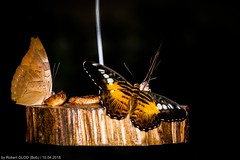 Maacher Päiperleksgaart - I always feel like... somebody's watching me! (Robert GLOD (Bob)) Tags: grevenmacher jardindespapillons maacherpäiperleksgaart papillons parthenossylvia animal animals bug bugs butterfly closeup insect insects maacher park proxy päiperleksgaart wildlife luxembourg lu