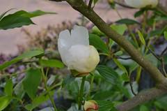 Pioenroos (Hugo Sluimer) Tags: pioenroos natuur nature natuurfotografie bloemen bloem natuurfotograaf naturephotography natuurinbloei vlaardingen nederland zuidholland holland