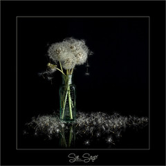 In Abundance... (Sue Sayer) Tags: dandelion seedhead lowkey square framed flower weed