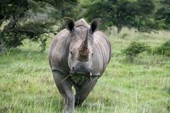 Straight at You (zenseas) Tags: whiterhinoceros wild workingholiday workingvacation amakhalagamereserve whiterhino southafrica southernwhiterhinoceros vacation africa holiday ceratotheriumsimum