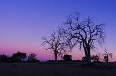 Life and death (LeelooDallas) Tags: western australia perth julimar landscape bush dana iwachow nikon coolpix s9200 sun sunset tree forest camping