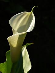 il ricciolo (fotomie2009) Tags: spring primavera calla zantedeschia white fiore flora flower