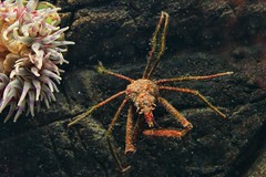 Beauty and the Beast (David K. Edwards) Tags: crab leggy red gnarly ugly spider anemone seaanemone ocean sea water underwater