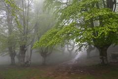 Udaberriko lainoa (Paulo Etxeberria) Tags: egiriñao gorbeialdea gorbeia gorbea gorbeiakonaturaparkea parquenaturaldegorbeia pagadia hayedo beechforest hêtraie lainoa niebla fog brouillard udaberria primavera spring printemps