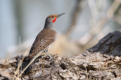 Northern Flicker (Canon Queen Rocks (2,082,000 + views)) Tags: birds bird feathers wildlife wings wild nature markings reds tree bark northernflicker male