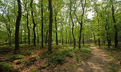 Hoenderloo - Deelerwoud (merijnloeve) Tags: hoenderloo deelerwoud bosbes bossen veluwe eik zomereik oak forest lebrets hoeve eo ge noord ede gemeente apeldoorn arnhem nederland gelderland