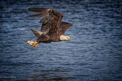 Bingo! (dngovoni) Tags: virginia action background bird eagle fish flight jamesriver prey raptor spring water wildlife chester unitedstates us