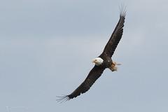 Will fly for food... (danielusescanon) Tags: flying bif accipitridae accipitriformes haliaeetusleucocephalus baldeagle wild homer alaska belugaslough