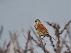 Common linnet (Corine Bliek) Tags: cardueliscannabina bird birds vogel vogels natuur nature nest building birding passerine zangvogel finch fringillidae
