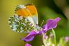 Orange Tip Aurorafalter 180418 016.jpg (juergen.mangelsdorf) Tags: anthochariscardamines tagfalter butterflies pieridae