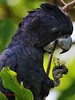 Red Tail black cockatoo (paulberridge) Tags: wildlife nature bird birdphotography cockatoo redtailblackcockatoo parrot calyptorhynchusbanksii australianbirds birdsofaustralia outback travelphotography wettropics rainforest birdwatching ornithology birdsinbackyards cairns queensland australia birdsofinstagram nationalparksandwildlife qldparksandwildlife birding native portrait australiangeographic nationalgeographic natgeo explorequeensland birdlifeaustralia
