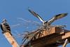 Resident male Osprey guards its nest (TonysTakes) Tags: osprey hawk firestone weldcounty wildlife colorado coloradowildlife bird raptor