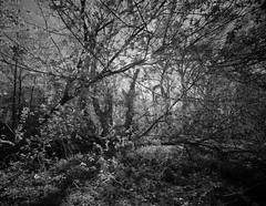 (John Brownlow) Tags: 4x5 largeformat crowngraphic superangulon 65mm wildthings forest trees aristaedu100 film