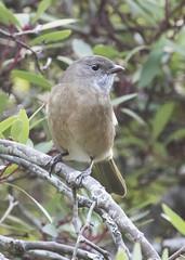 Olive Whistler fem (Baractus) Tags: olive whistler mountain valley tasmania australia john oates inala nature tours