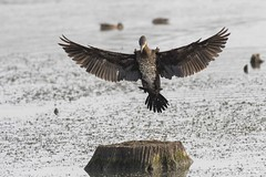 DSC_4411 (P2 New) Tags: 2017 animaux aout bretagne date etangdecareil france grandcormoran illeetvilaine oiseaux pays phalacrocoracidae pélécaniformes
