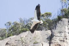 White-bellied Sea Eagle (Baractus) Tags: whitebellied sea eagle john oates freycinet national park tasmania australia inala nature tours saffire