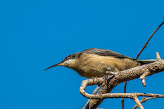 Eastern Spinebill - 25.04.2018-6 (Shane Allwood Photography) Tags: yellow spinebill bird australia australianbird