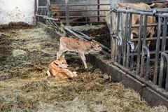 1 day born calves (TristanLohengrin) Tags: animal paille étable veau interior new born nouveau né calf calves