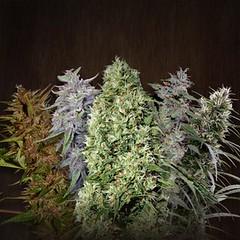 Ace_Mix_55844990409f9 (Watcher1999) Tags: cannabis medical marijuana seeds growing weed seed banks legal smoking legalize it reggae ganja