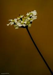 Umbellifer (ianbartlett) Tags: outdoor flower macro nature leaves light painted