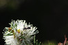 IMGP9145 copy (Dingilingi) Tags: urbanbiodiversity urbannature urbangreenspace australia insects
