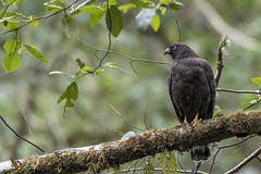 Broad-winged Hawk (fernaabs) Tags: broadwinged hawk buteo platypterus gavilán gavilánpollero gavilánaludo accipitriformes accipitridae aves fernaabs burgalin avesdecostarica