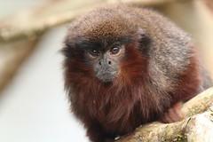 Red Titi Monkey (charliejb) Tags: redtitimonkey monkey primate 2018 bristolzoo bristol wildlife fur furry furred mammal bristolzoogardens