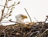 _DSC5332apr25 (ndbog57) Tags: nikon northdakota bald eagles baldeagles nest tree