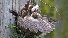 Mooned by a Great Horned Owl (photosauraus rex) Tags: owl bird greathornedowl vancouver bc canada cloaca