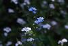 """i miei """"non ti scordar di me"""" (Gina.Di) Tags: fiori nontiscordardime primavera azzurro bianco"""