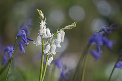 dare to be different (Emma Varley) Tags: bluebells blue white different wildflower uk april westsussex woods forest spring bokeh light