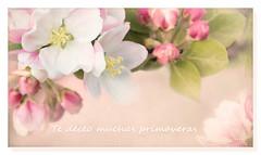 I wish you many springs (c.ferrol) Tags: manzanas manzano floración rosa blanco petalos pastel vintage deseo primaveras luz
