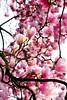 Stairway to Heaven (barbara_donders) Tags: natuur nature spring lente tree boom magnolia prachtig mooi beautifull magical roze pink hemel bokeh