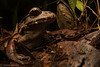 Smoky Jungle Frog (antonsrkn) Tags: frog leptodactylus pentadactylus large huge herp smokyjunglefrog herpetology amphibian frogging animal night jungle amazon amazonian southamerica colombia macro portrait nikon nikkor
