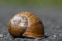 Makro Weinbergschnecke (Helix pomatia) (kalakeli) Tags: weinbergschnecke helixpomatia snails schnecken ediblesnail makro closeup rieselfeldermünster
