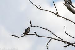 9Q6A1255 (2) (Alinbidford) Tags: alancurtis alinbidford birdofprey brandonmarsh hobby nature wildbirds wildlife