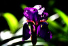 Bearded Iris 'Diabolique' (roanfourie) Tags: iris bearded diabolique seeherbeauty protectmotherearth macro plant plants flower flowers leave garden nature naturephotography floraofsouthafrica art violet purple green light day outdoors flickr flick explore southafrica africa randfontein photography nikon d3400 nikkor 70300mm ed dx afp vr f63 dslr raw gimp april242018 april 2018 dof bokeh
