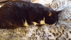 fur in fur (Mamluke) Tags: cat chat fur furry fuzzy fuzz mamluke soft sleep asleep gatto katze kat gato
