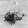 Face to Face (CarSaBe) Tags: reptile reptil lizard echse animal tier portrait face gesicht eye auge krallen stone fels rock stein square lumix dragon drachen schwarz weis black white