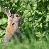339 of Year 4 - Wild Watership Down resident (Hi, I'm Tim Large) Tags: rabbit bunny watershipdown wild somerset brown nettles 365 338 nature canon 400mm f4 do 14x ef400mmf4doisusm 5dsr