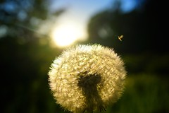 Sunset dandelion (bastian90) Tags: eveningmood abend insekten insect pusteblume dandelion blume flower sonnenuntergang sunset