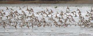 Spring Migration through Cordova, Alaska