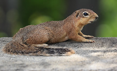 Posing For A Second (AnyMotion) Tags: unstripedgroundsquirrel schlichtborstenhörnchen streifenlosesborstenhörnchen xerusrutilus 2018 anymotion tarangirenationalpark tanzania tansania africa afrika travel reisen animal animals tiere nature natur wildlife 7d2 canoneos7dmarkii ngc npc