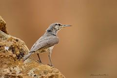 Rock Wren - Chaco Canyon, NM (Zane Adams.TX) Tags: birds 2017 chacocanyon newmexico