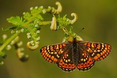 Euphydryas aurinia (14) (JoseDelgar) Tags: insecto mariposa euphydryasaurinia 425842488687982 josedelgar naturethroughthelens thegalaxy alittlebeauty coth ngc coth5 npc fantasticnature