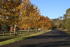 Autumn at Bowral (RossCunningham183) Tags: bowral touristroad southernhighlands nsw australia autumn leaves countryside road yellow