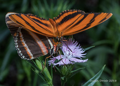 Brookside Garden Butterfly 2018-4fb (strjustin) Tags: bug butterfly insect beautiful macro