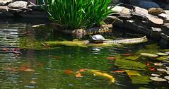 Turtle on a Gator (BKHagar *Kim*) Tags: bkhagar acrossthepond store huntsville al alabama turtle slider water pond koi